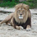 lion-9076_640